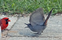 Grey Cat Bird engaging in seed rage with a Cardinal