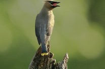 Cedar Waxwing with something to say