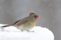 Female Northern Cardinal stands her ground against strong winds and blizzard