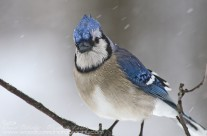 A cold wintery Blue Jay