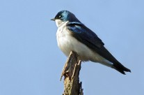 Tree Swallow takes a break