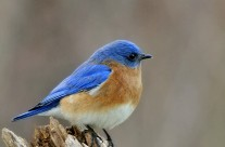 Male Bluebird surveys his territory