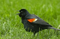 Male Red Winged Blackbird vocalising