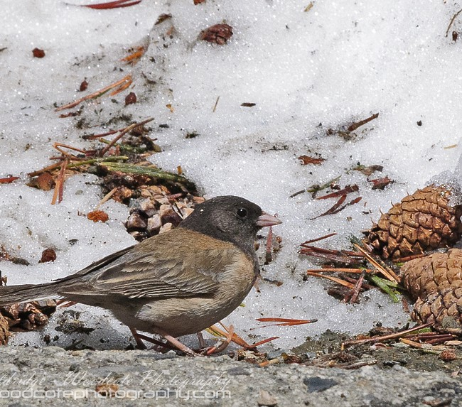 Oregon Junco in the Sierra Mountains, California