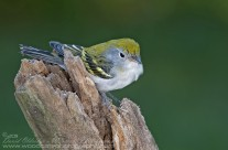 Juvenile Chestnut Sided Warbler