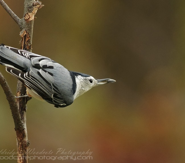 White Breasted Nuthatch with seed
