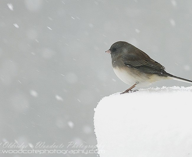 Dark Eyed Junco gets a taste of the winter to come