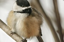 Black Capped Chickadee Gallery