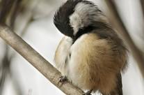 Black Capped Chickadee preening