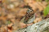 White Throated Sparrow in the Fall