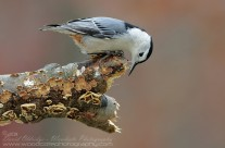 White Breasted Nuthatch Gallery
