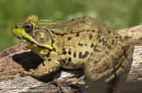 American green Frog – and a well fed one at that