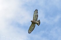 Broad Winged Hawk soaring