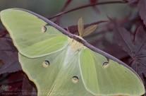 Luna Moth – 4.5 inch wingspan – close up