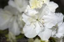Petals – White Azalea