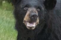 Black Bear portrait