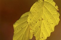 Autumn leaf color (1)