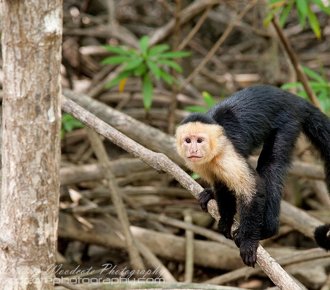 White Faced Capuchin – The first we encountered