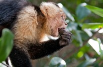 White Faced Capuchin enjoying lunch