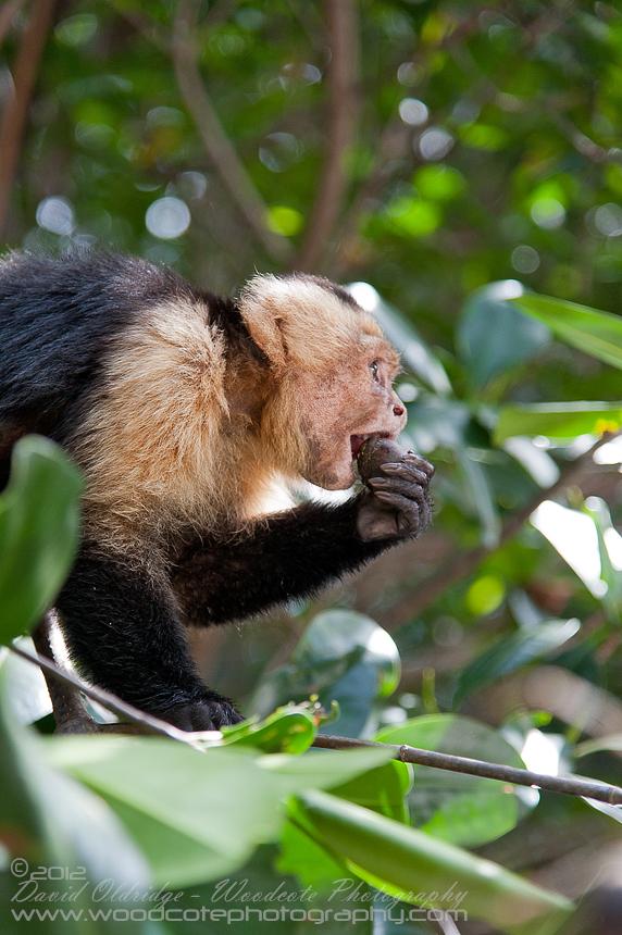 White Faced Capuchin enjoying lunch