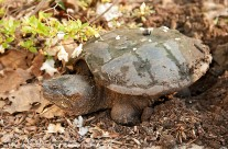 Snapping Turtle in the process of laying her clutch of eggs