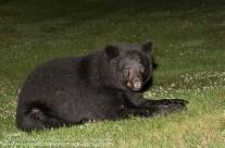 Black Bear taking a break