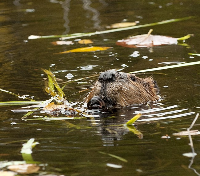 North American beaver (5)
