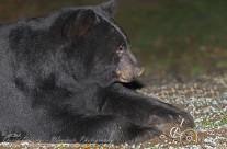 Black Bear dismantling bird feeder