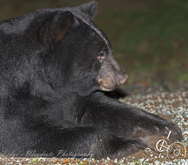 Black Bear dismantling bird feeder