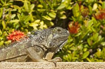 Iguana – Cayman (1)