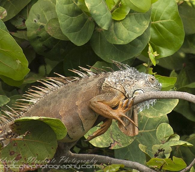 Iguana – Cayman (2)