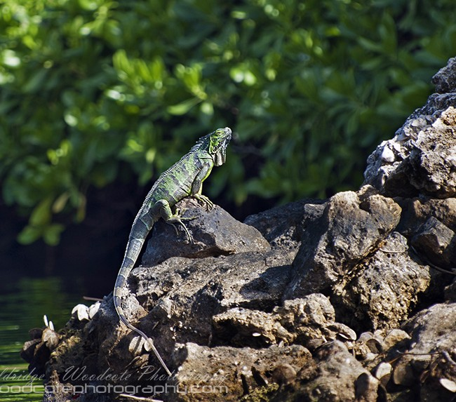 Iguana – Cayman (4)