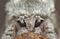 Jocose Sallo Moth – face to face