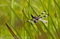 Twelve Spotted Skimmer in the reeds