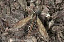Laurel Sphinx Moth