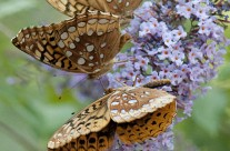 Group of Aphrodyte Fritillaries