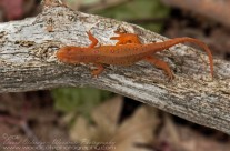 Red Spotted Newt