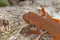 Red Spotted Newt – close up
