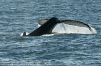 Rising tail fluke of Humpback Whale