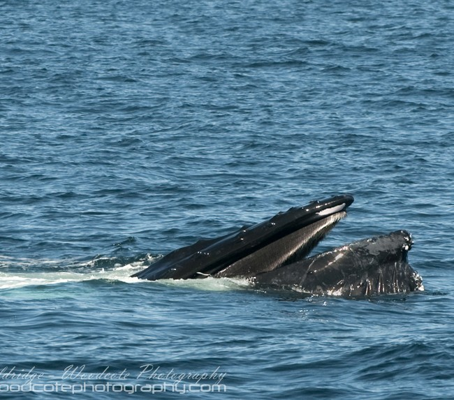 Humpback Whale gorging itself on bait fish