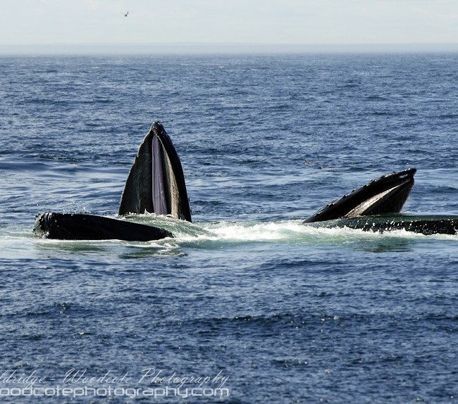 Two Humpback Whales working together