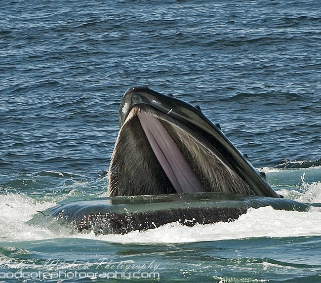 Cavernous mouth of a Humpback Whale