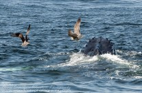 Humpback Whale helping the seabirds find a meal