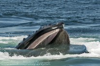Humpback Whale's food filtration