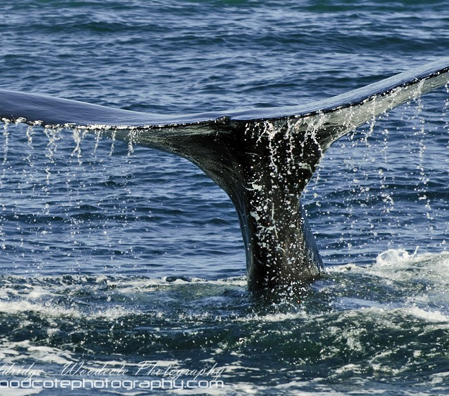 Disappearing tail fluke of Humpback Whale