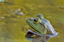 American Green Frog – up periscope