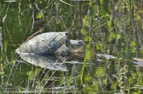 Snapping Turtle – basking