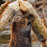 Beaver Kills Photographer!