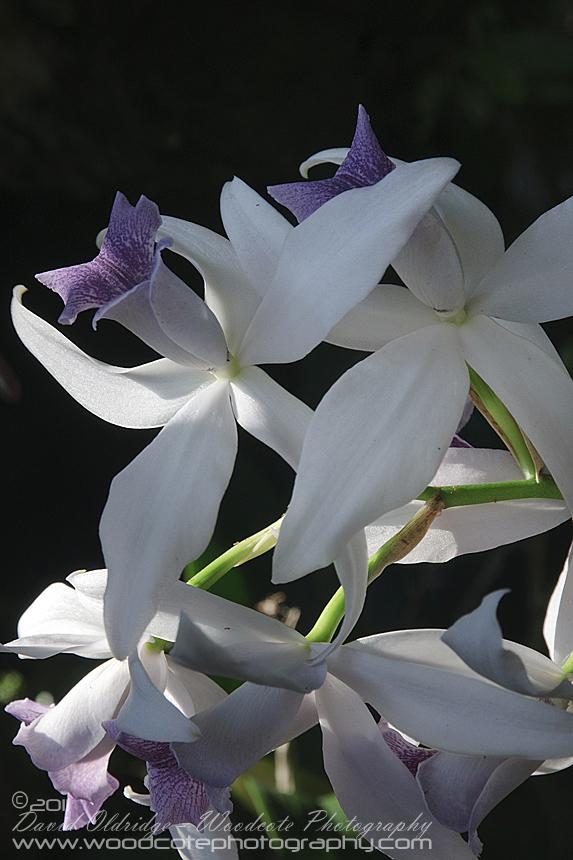 Hawaii Orchid (6)