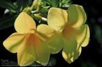 Hawaiian Allamanda